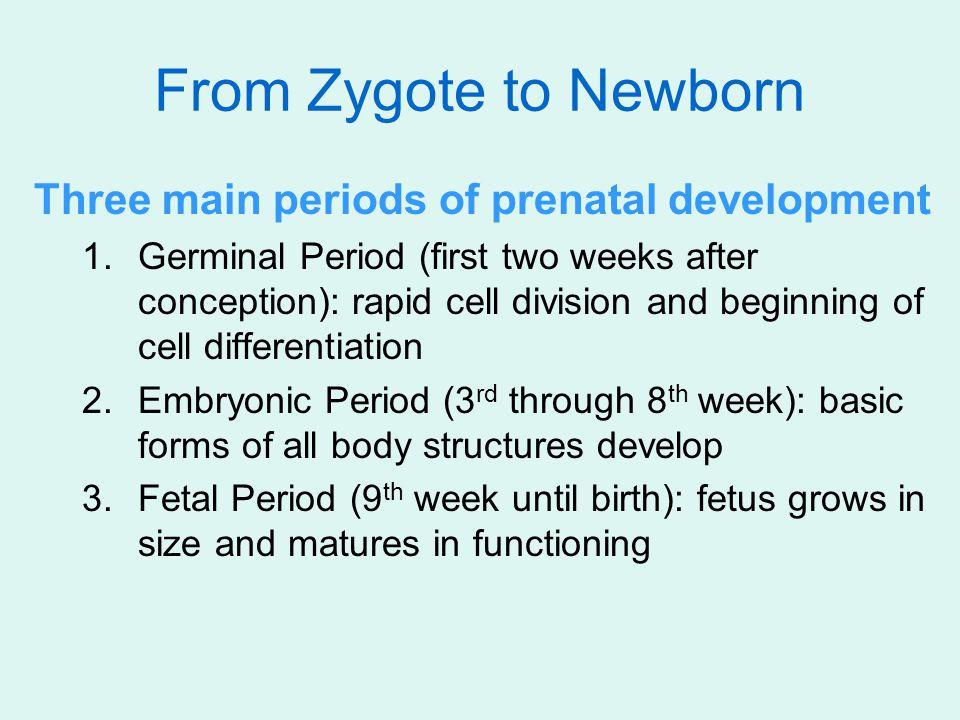 From Zygote to Newborn Three main periods of prenatal development