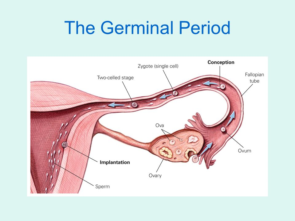The Germinal Period