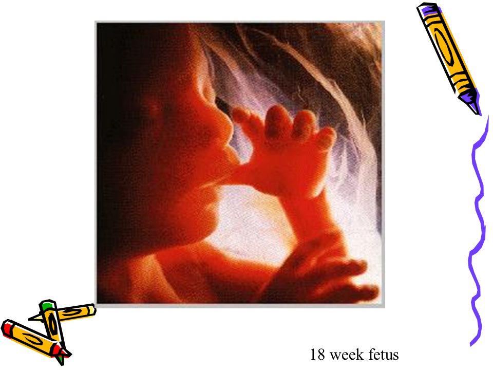 http://www.w-cpc.org/fetal2.html 18 week fetus