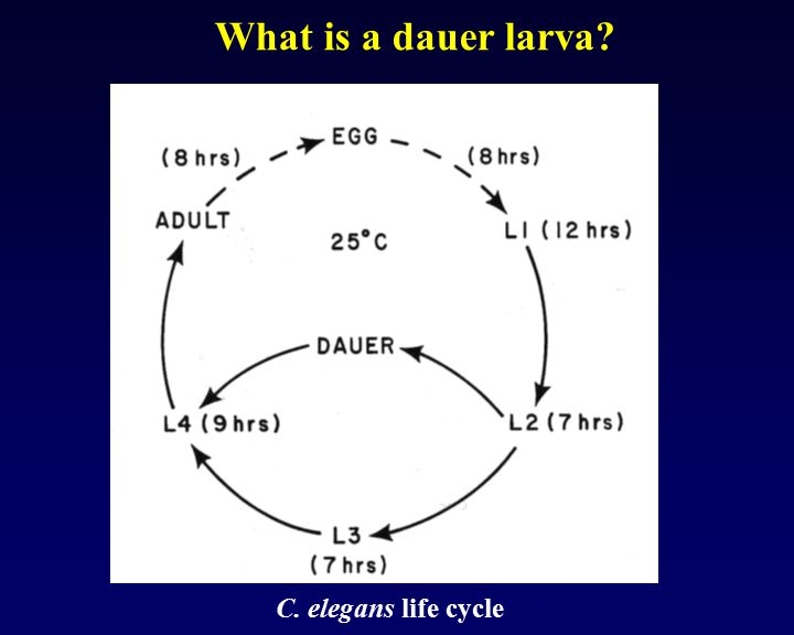What is a dauer larva x C. elegans life cycle