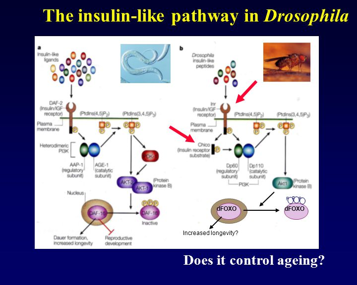 The insulin-like pathway in Drosophila