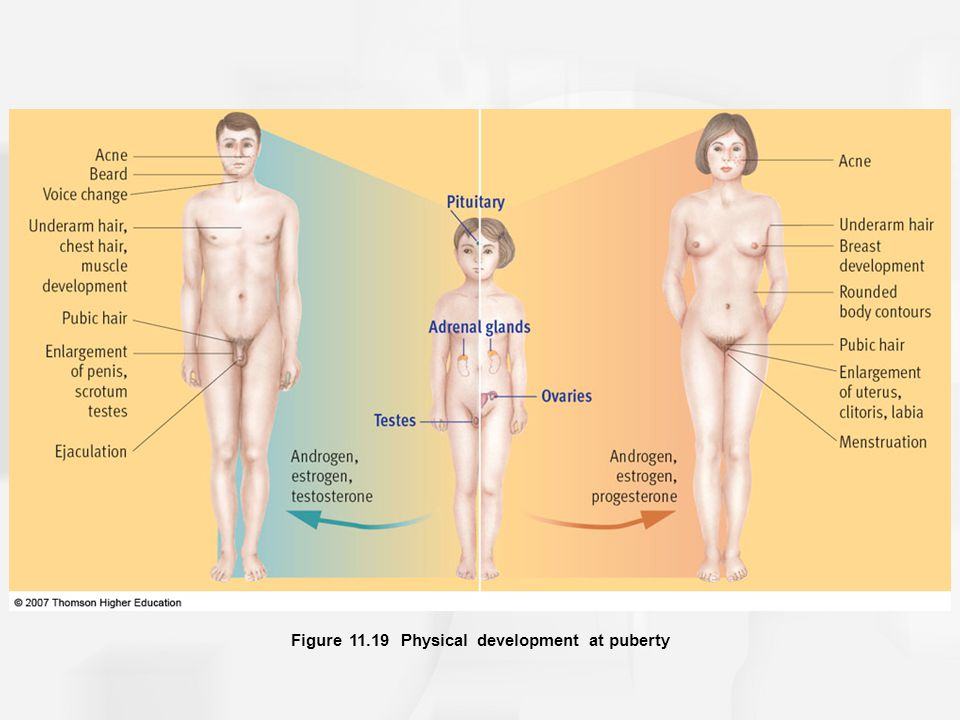 Figure 11.19 Physical development at puberty