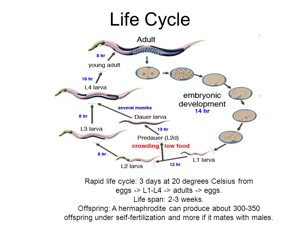 Life Cycle Rapid life cycle: 3 days at 20 degrees Celsius from