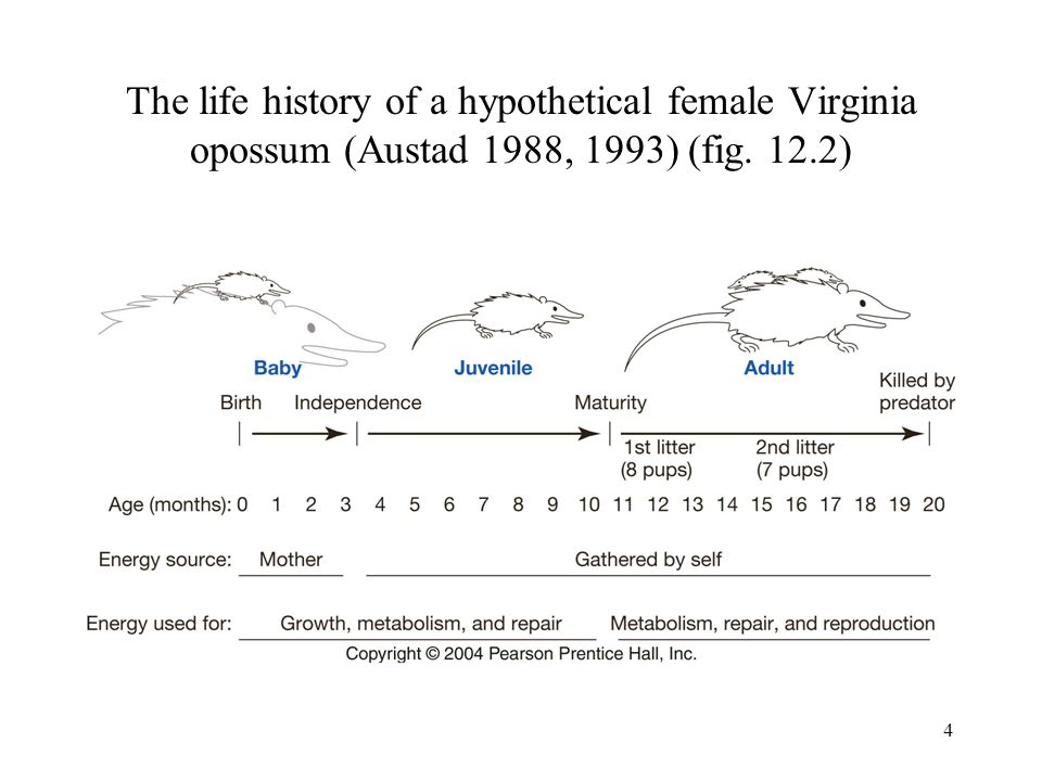 The life history of a hypothetical female Virginia opossum (Austad 1988, 1993) (fig. 12.2)