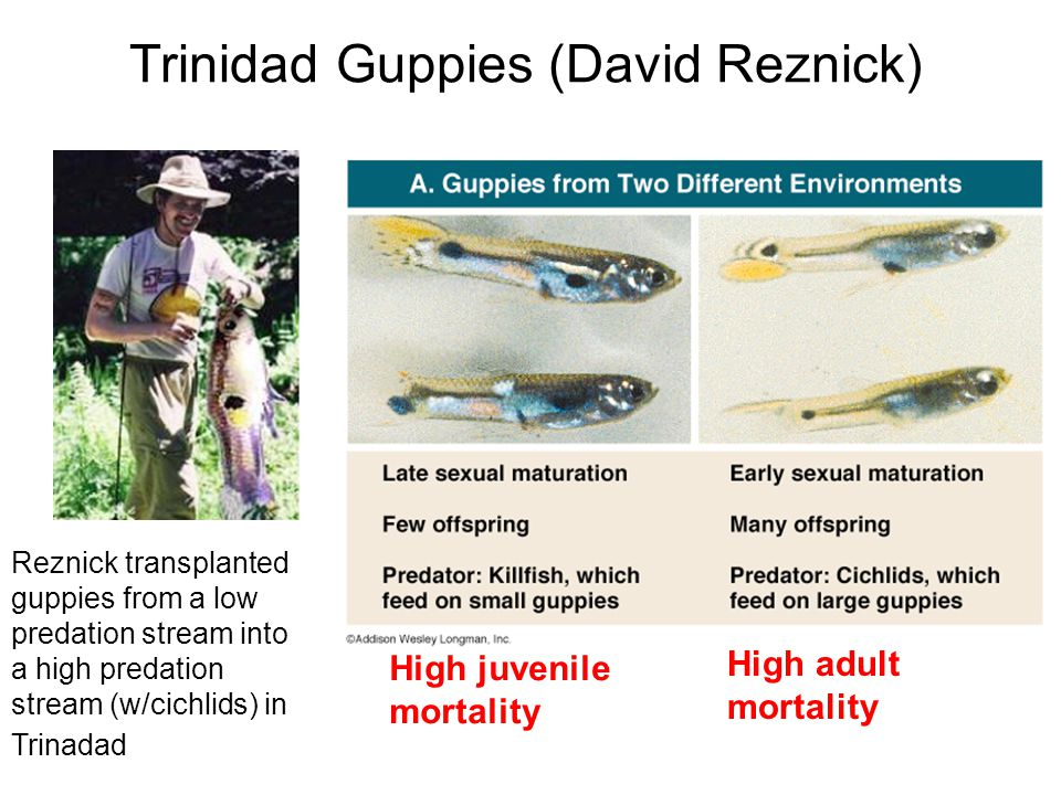 Trinidad Guppies (David Reznick)