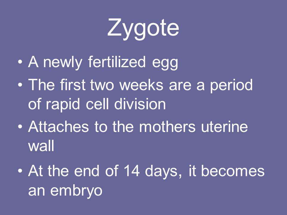 Zygote A newly fertilized egg