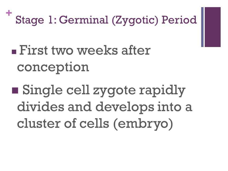 Stage 1: Germinal (Zygotic) Period