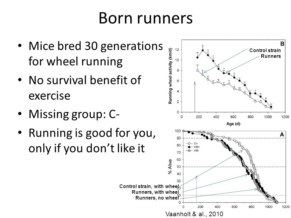 Born runners Mice bred 30 generations for wheel running