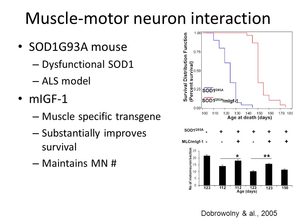 Muscle-motor neuron interaction