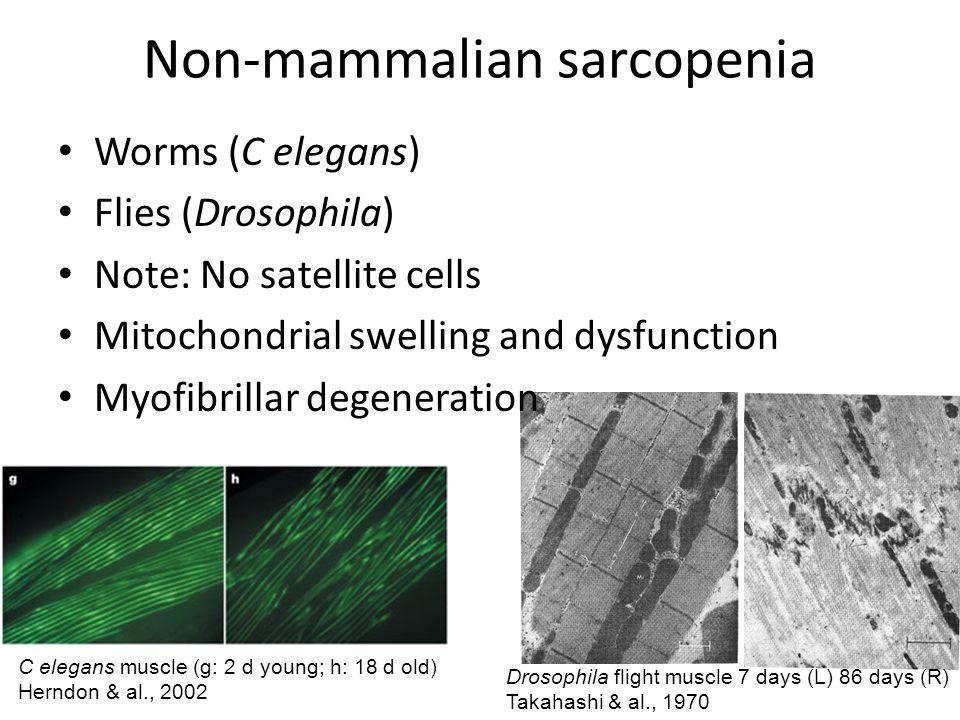 Non-mammalian sarcopenia