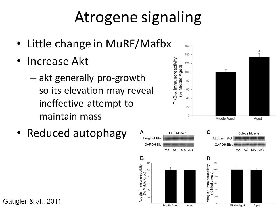 Atrogene signaling Little change in MuRF/Mafbx Increase Akt