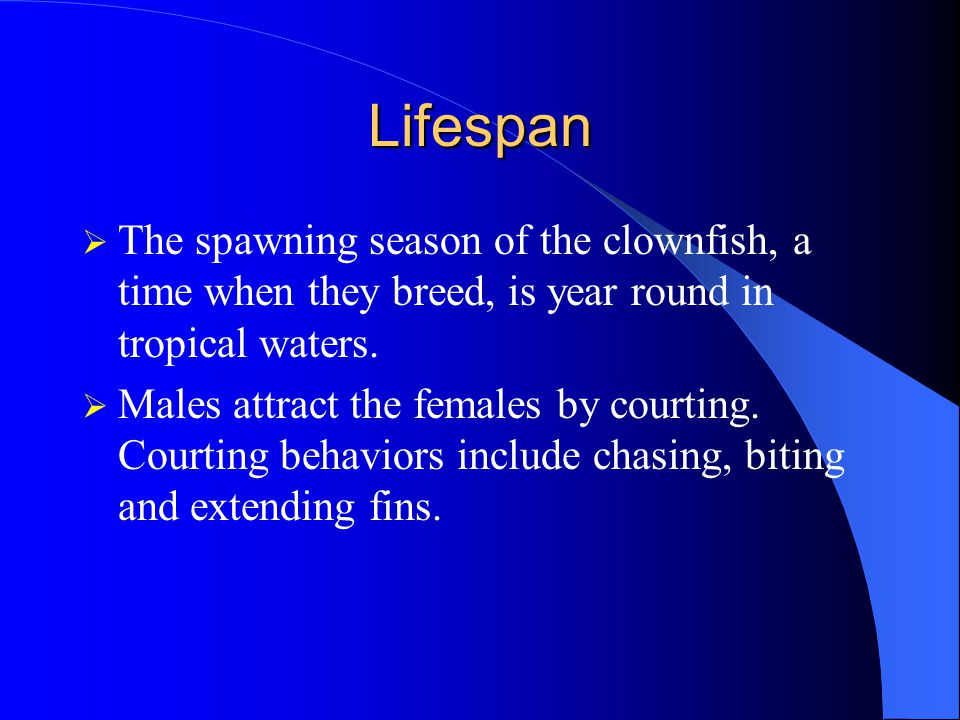 Lifespan The spawning season of the clownfish, a time when they breed, is year round in tropical waters.