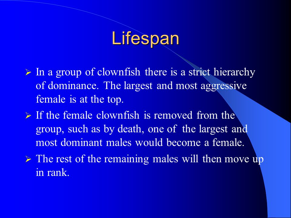 Lifespan In a group of clownfish there is a strict hierarchy of dominance. The largest and most aggressive female is at the top.