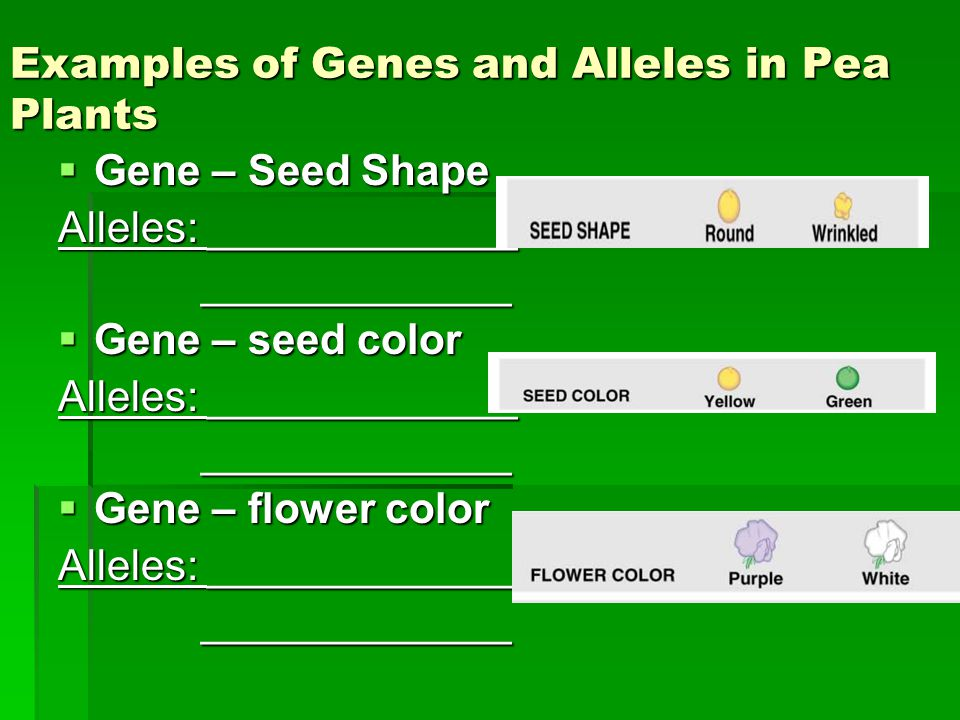 Examples of Genes and Alleles in Pea Plants