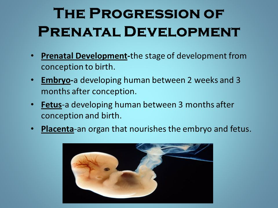 The Progression of Prenatal Development