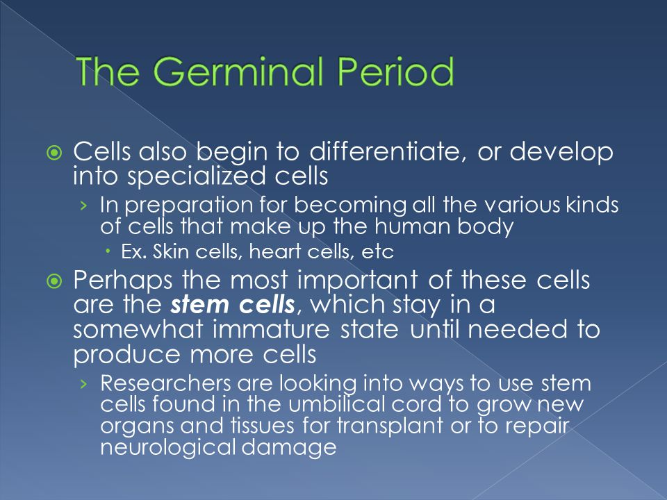 The Germinal Period Cells also begin to differentiate, or develop into specialized cells.
