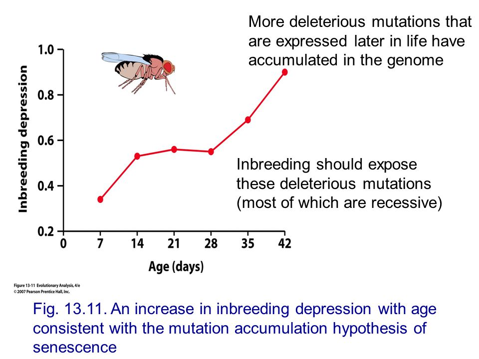 More deleterious mutations that are expressed later in life have accumulated in the genome
