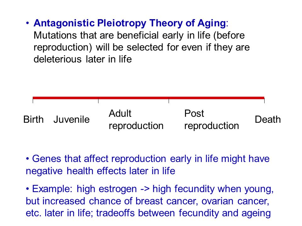 Antagonistic Pleiotropy Theory of Aging: Mutations that are beneficial early in life (before reproduction) will be selected for even if they are deleterious later in life
