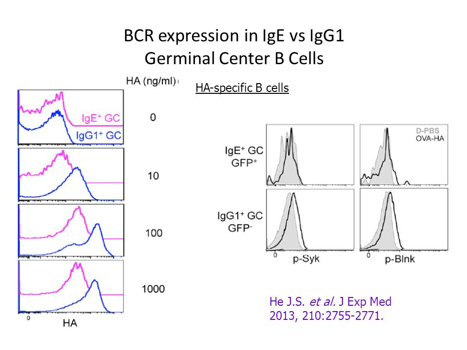 BCR expression in IgE vs IgG1 Germinal Center B Cells