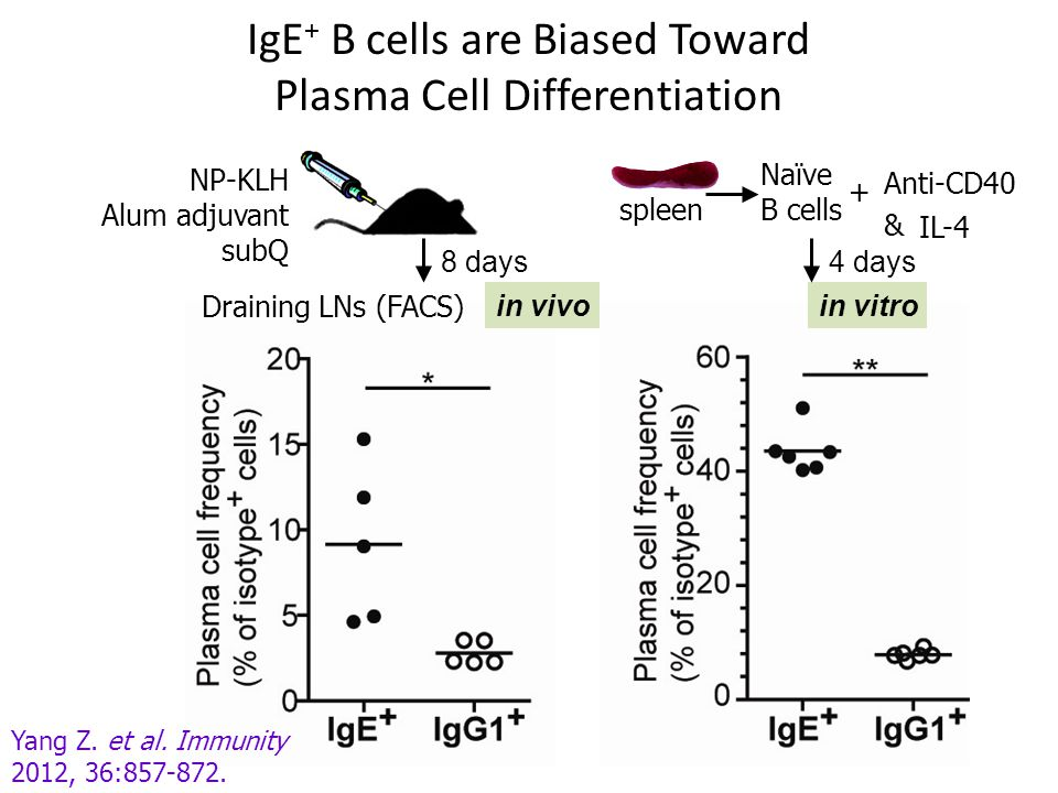 IgE+ B cells are Biased Toward Plasma Cell Differentiation