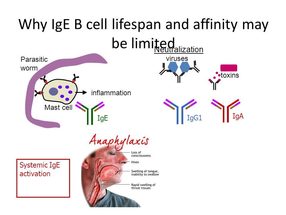 Why IgE B cell lifespan and affinity may be limited