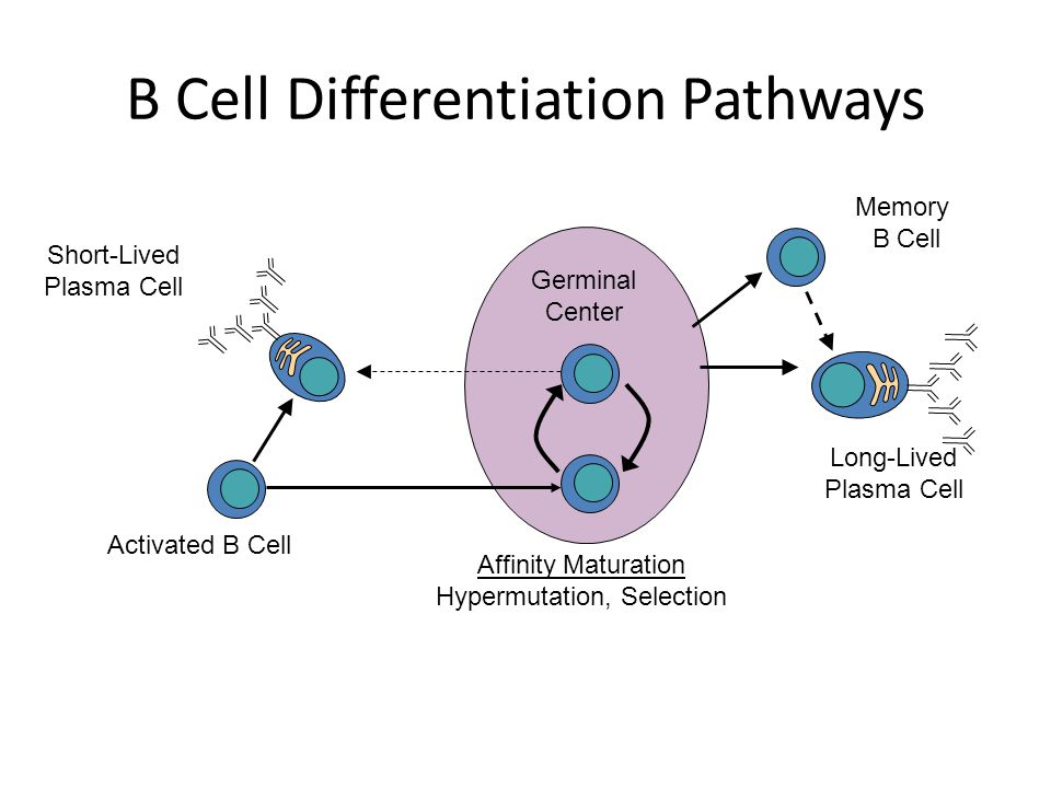 B Cell Differentiation Pathways