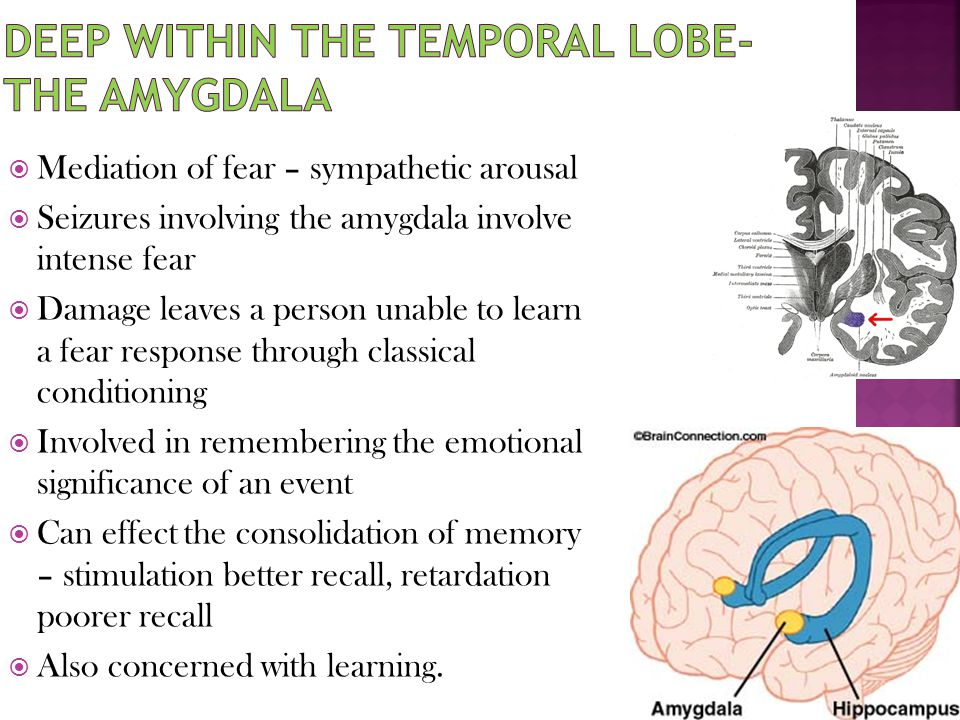 Deep within the temporal lobe- the amygdala