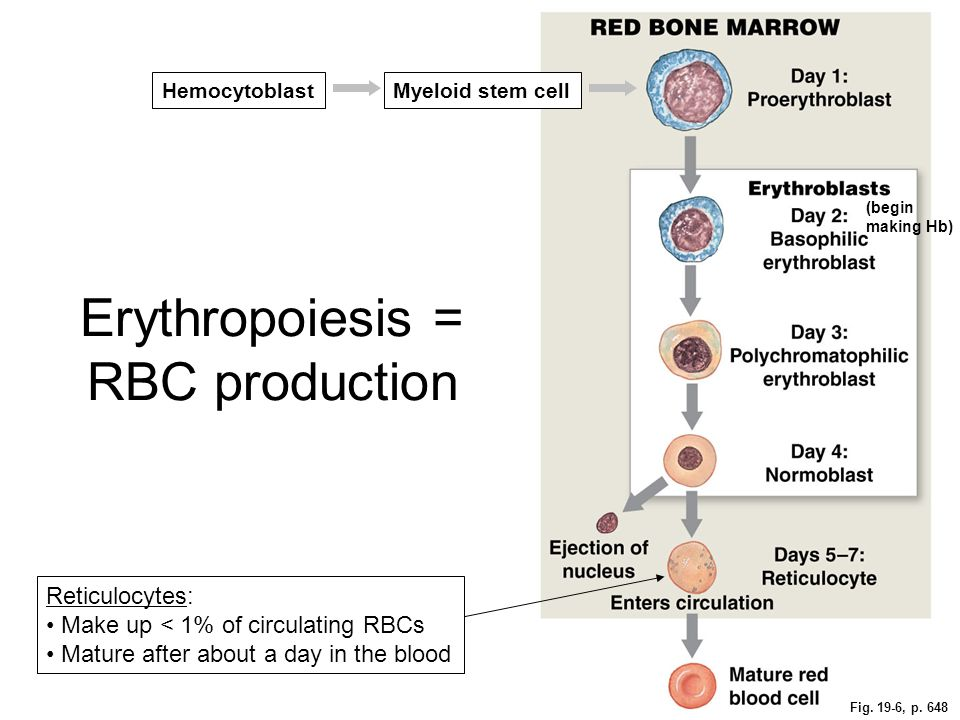 Erythropoiesis = RBC production