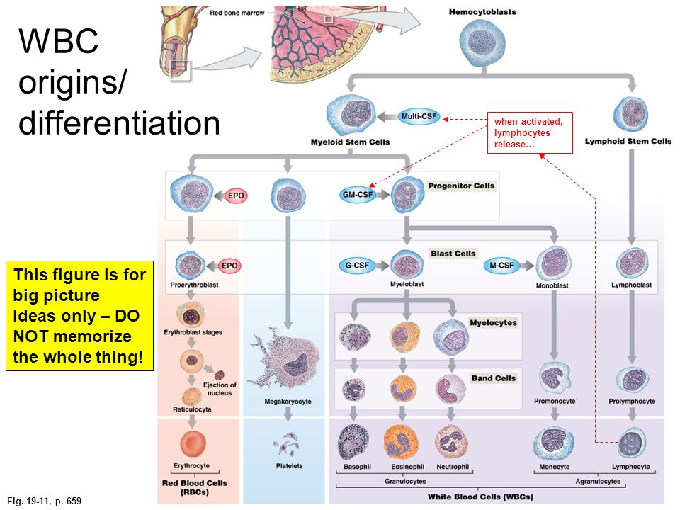 WBC origins/ differentiation