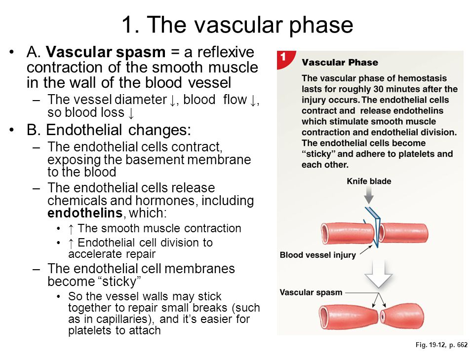 1. The vascular phase A. Vascular spasm = a reflexive contraction of the smooth muscle in the wall of the blood vessel.