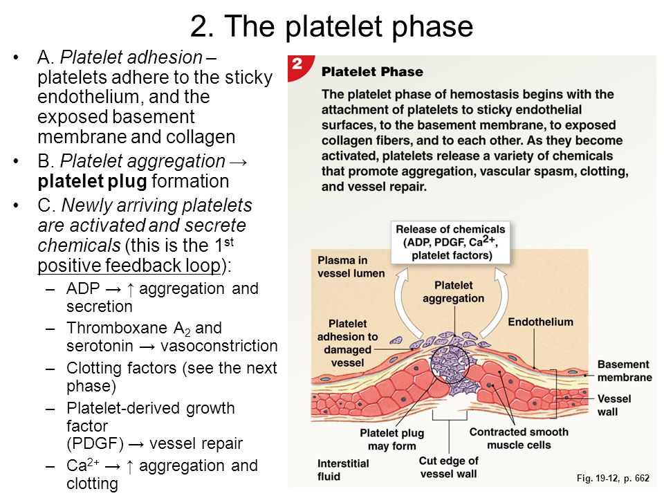 2. The platelet phase A. Platelet adhesion – platelets adhere to the sticky endothelium, and the exposed basement membrane and collagen.