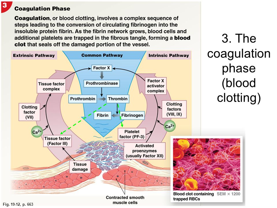 3. The coagulation phase (blood clotting)