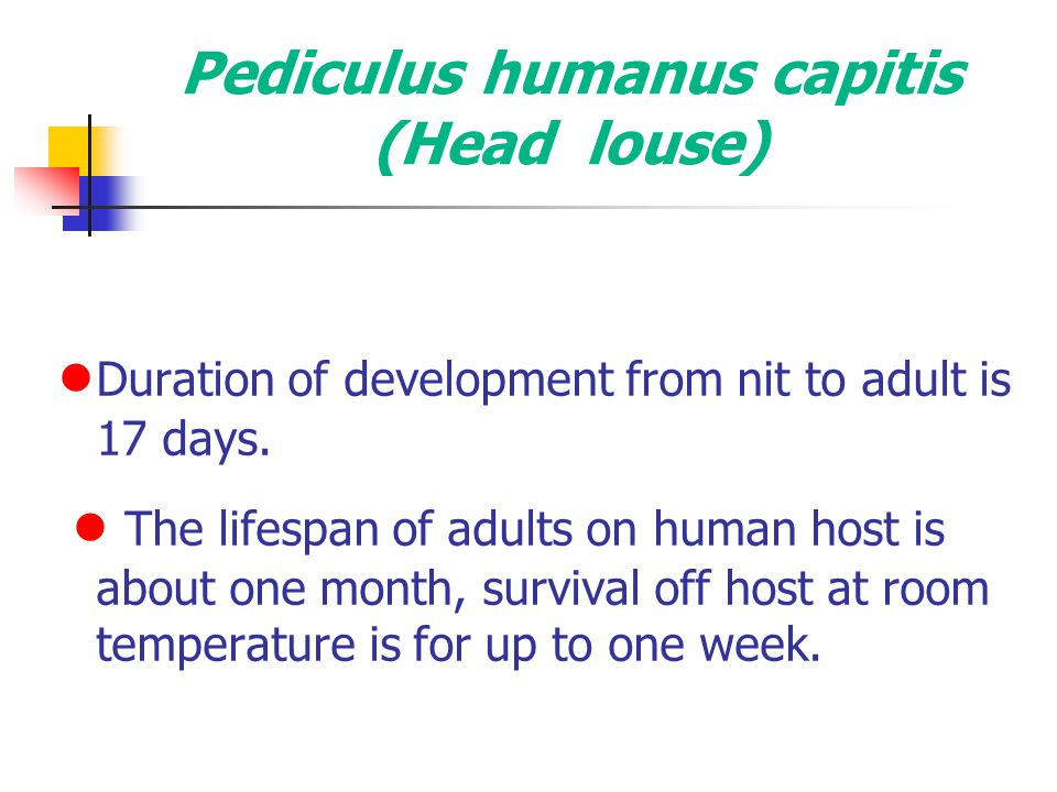 Pediculus humanus capitis (Head louse)