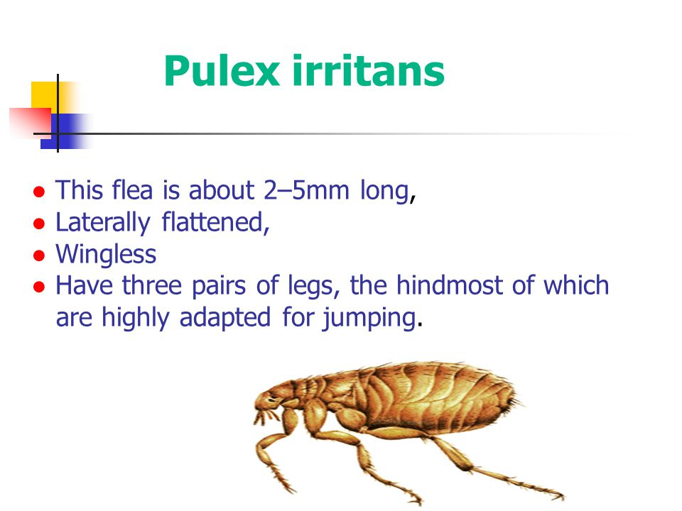 Pulex irritans ● This flea is about 2–5mm long, ● Laterally flattened,