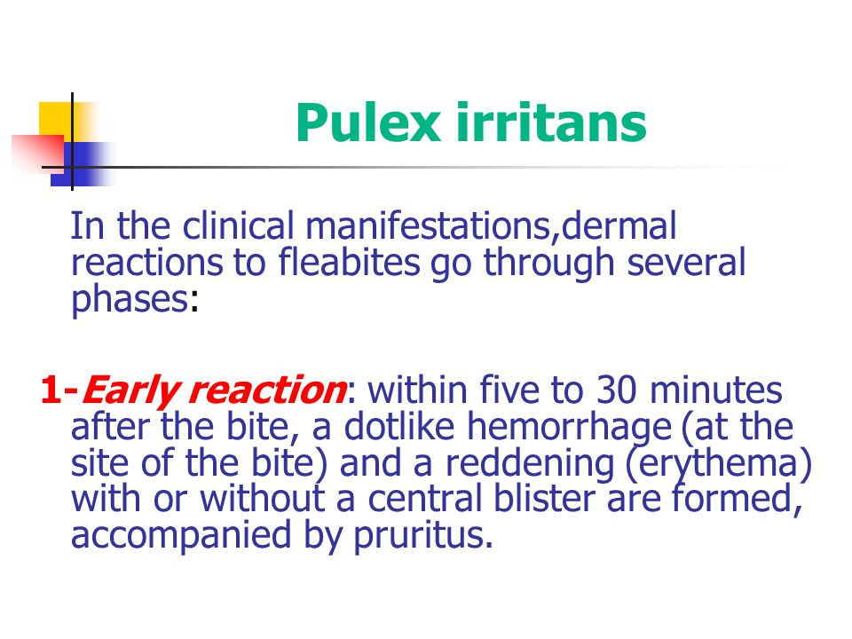 Pulex irritans In the clinical manifestations,dermal reactions to fleabites go through several phases: