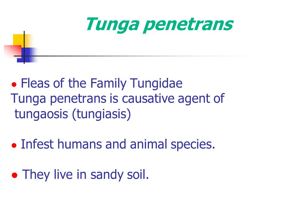 Tunga penetrans Tunga penetrans is causative agent of