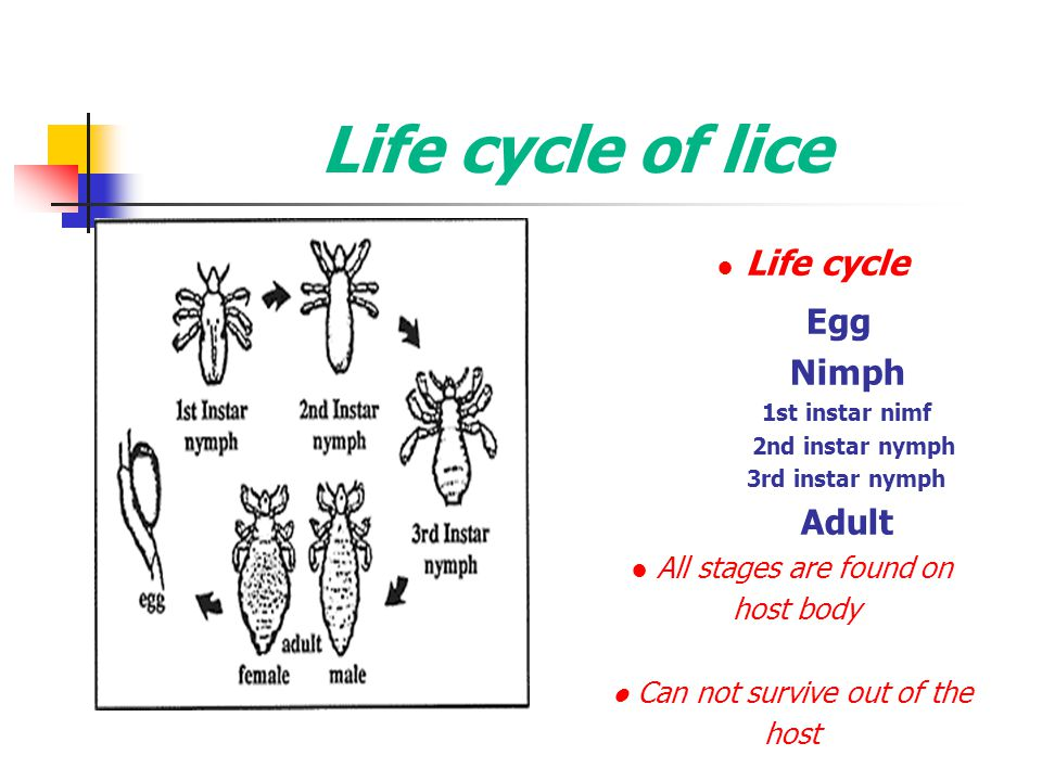 Life cycle of lice Egg Nimph Adult ● Life cycle