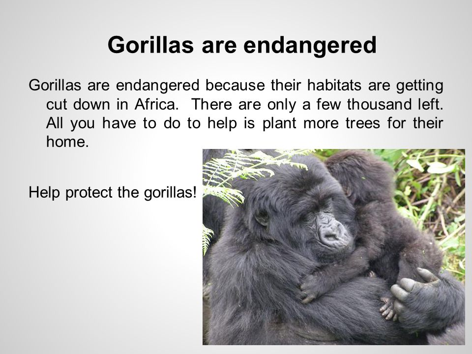 Gorillas are endangered