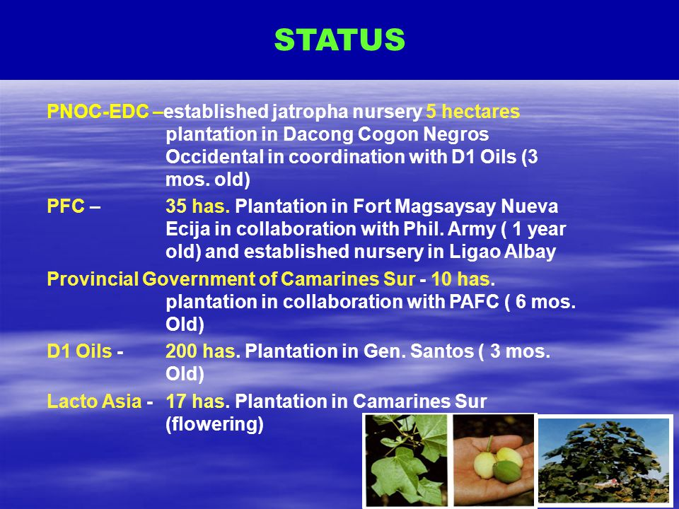 STATUS PNOC-EDC –established jatropha nursery 5 hectares plantation in Dacong Cogon Negros Occidental in coordination with D1 Oils (3 mos. old)