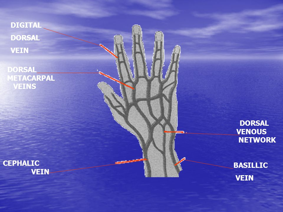 DIGITAL DORSAL VEIN DORSAL METACARPAL VEINS DORSAL VENOUS NETWORK CEPHALIC VEIN BASILLIC VEIN
