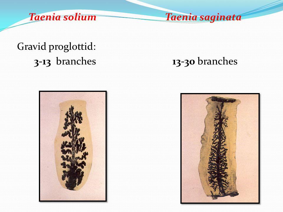 Taenia solium Taenia saginata Gravid proglottid: 3-13 branches 13-30 branches