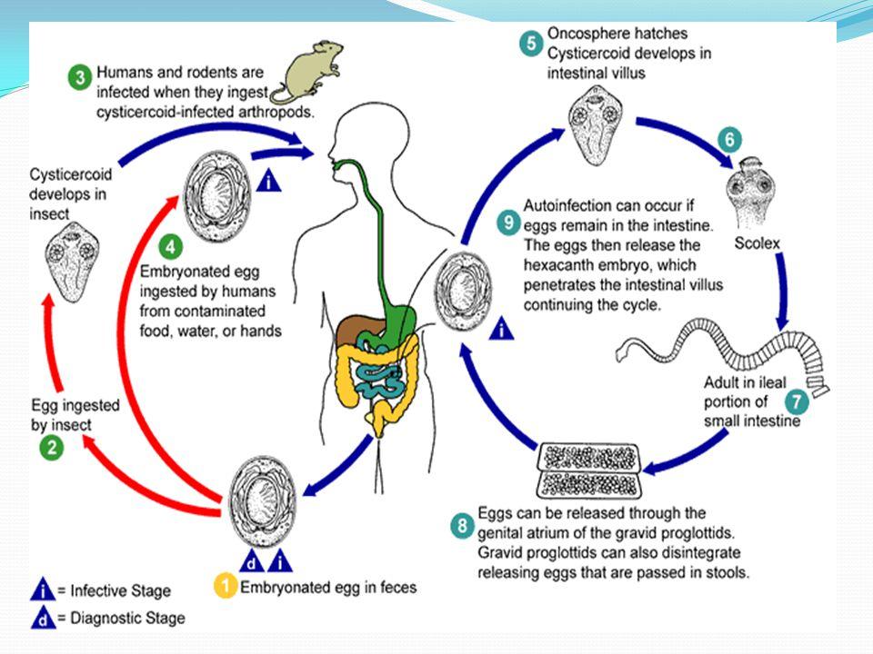 Hymenolepis nana life cycle2