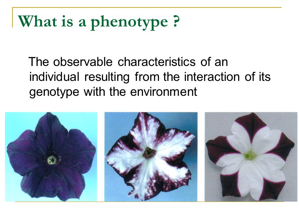 What is a phenotype .