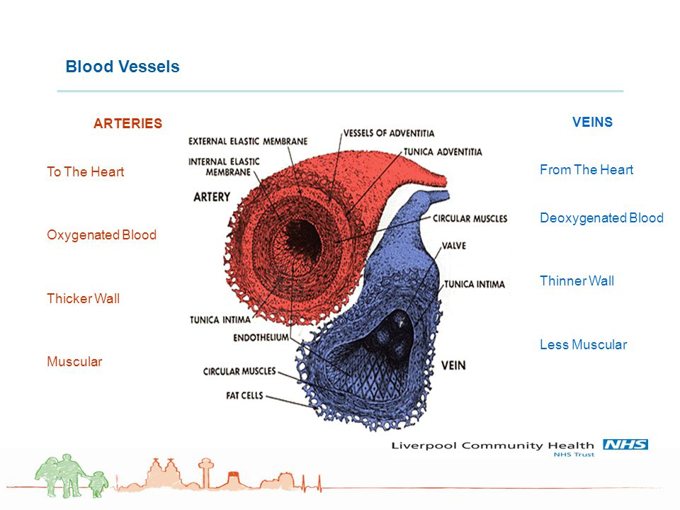 Blood Vessels ARTERIES To The Heart VEINS From The Heart
