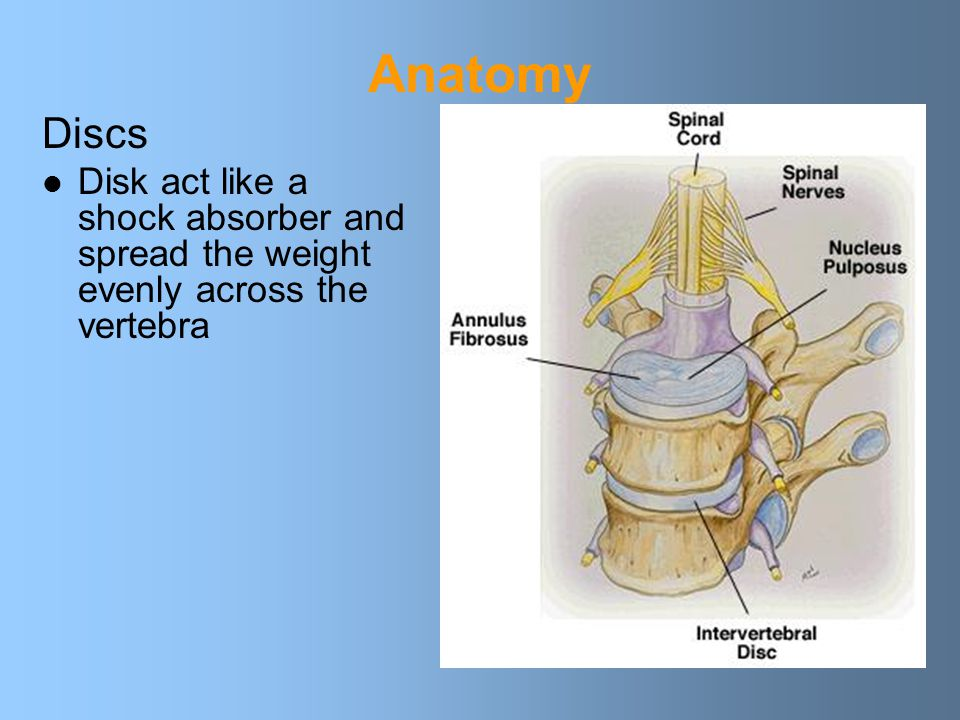 Anatomy Discs Disk act like a shock absorber and spread the weight evenly across the vertebra