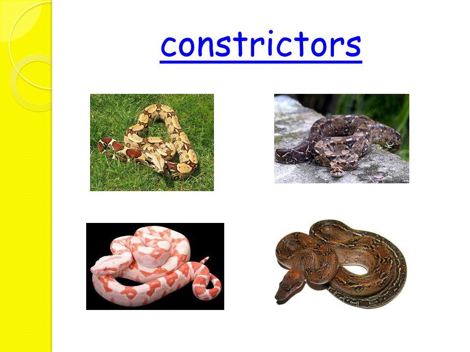 constrictors