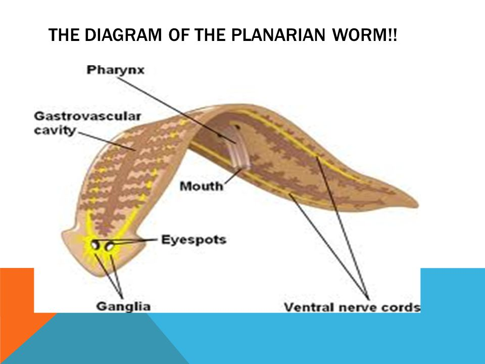 The diagram of the planarian worm!!