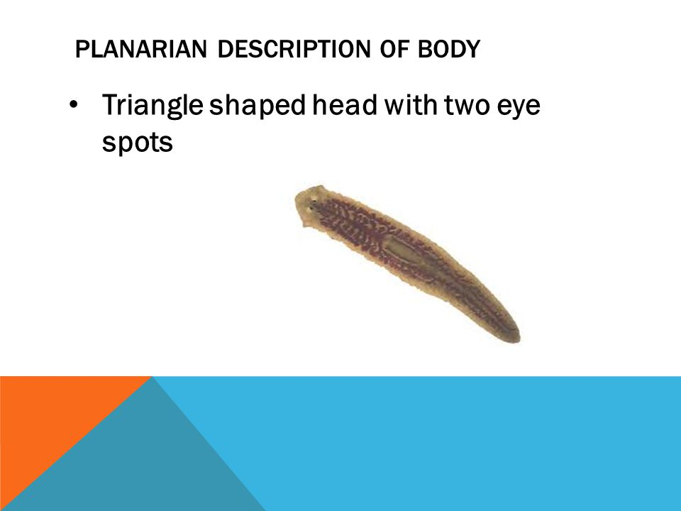 planarian Description of body