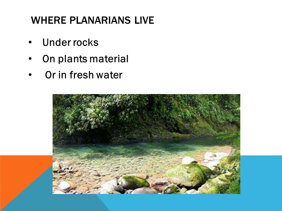 where Planarians live Under rocks On plants material Or in fresh water