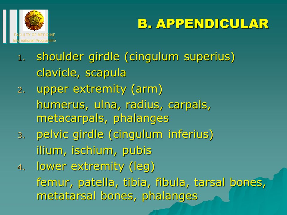 B. APPENDICULAR shoulder girdle (cingulum superius) clavicle, scapula
